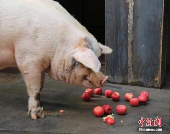 印尼官方:巴厘岛爆发非洲猪瘟近900头猪死亡