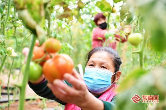 泉州农户抢收蔬菜 保证疫情防控期间的市场供应