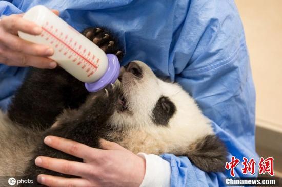 ドイツのベルリン動物園で現地時間2月4日、パンダの赤ちゃんに授乳する飼育員(写真著作権は東方ICが所有のため転載禁止)。