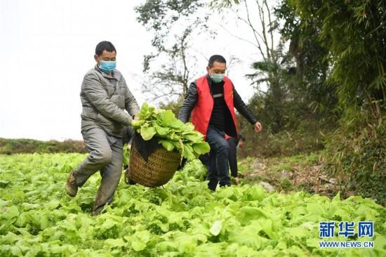 (聚焦疫情防控)(2)重庆:疫情下的乡村蔬菜配送小队