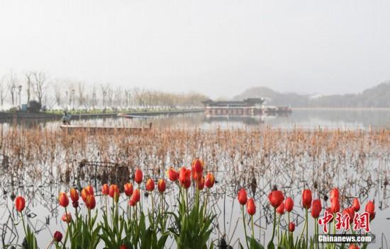 杭州西湖春意初现 景区游客踪影难觅