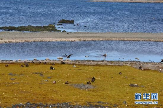 """(""""雪龙""""探南极)(8)与自然和谐相处:南极长城站的企鹅与贼鸥"""