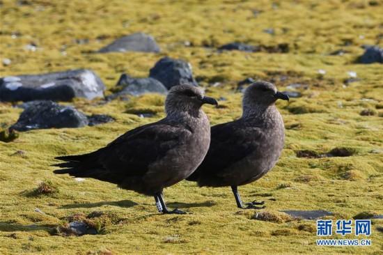 """(""""雪龙""""探南极)(5)与自然和谐相处:南极长城站的企鹅与贼鸥"""