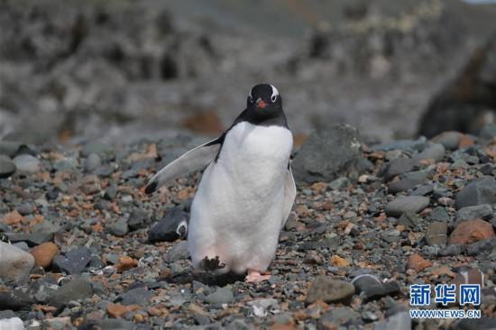 """(""""雪龙""""探南极)(3)与自然和谐相处:南极长城站的企鹅与贼鸥"""