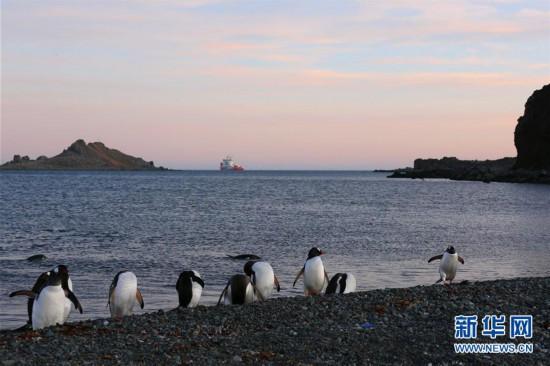 """(""""雪龙""""探南极)(7)与自然和谐相处:南极长城站的企鹅与贼鸥"""