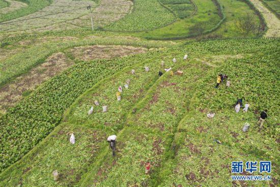 (经济)(1)重庆涪陵:榨菜产业防疫生产两手抓