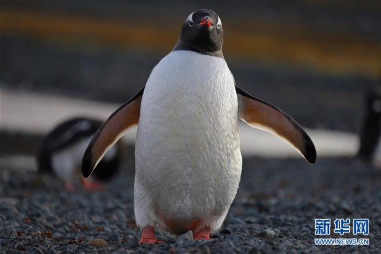 """(""""雪龙""""探南极)(2)与自然和谐相处:南极长城站的企鹅与贼鸥"""