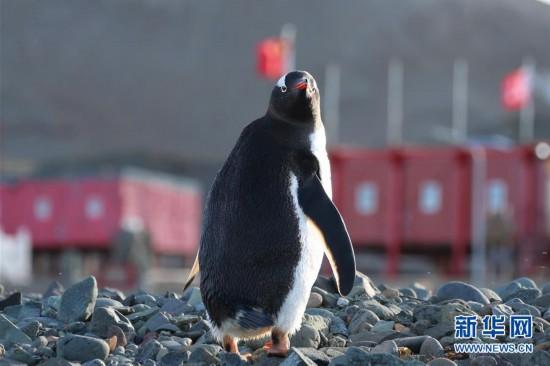 """(""""雪龙""""探南极)(11)与自然和谐相处:南极长城站的企鹅与贼鸥"""