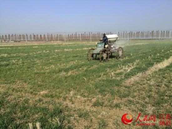 东海县一处麦田内,一农民正在喷洒肥料。张开虎/摄