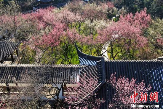 江蘇南京雨花台梅崗で17日に上空から撮影された咲き乱れる梅の花(撮影・泱波)。