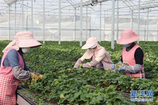 云南寻甸:草莓育苗基地复工生产