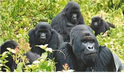 """太美了!到卢旺达国家公园追""""猩"""" 与珍异鸟类来一场""""林中邂逅"""""""