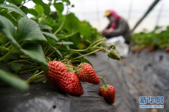 新疆三坪农场的草莓熟了