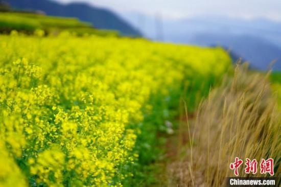 浙江省台州市仙居県楊豊山の段々畑で満開を迎えた菜の花(撮影・崔江剣)