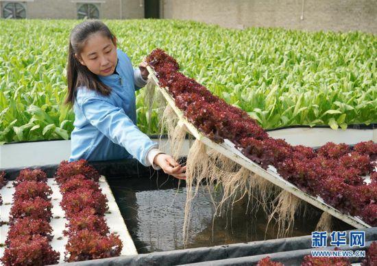 (经济)(1)河北正定:无公害农业助增收