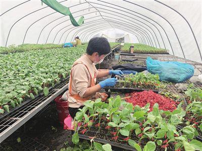 海门今春培育种苗1.2亿株 保障菜篮子不断档