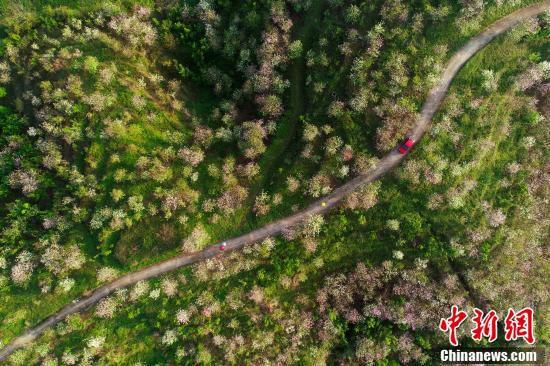 上空から撮影した那皮坡のバウヒニア(撮影・潘美寧)。