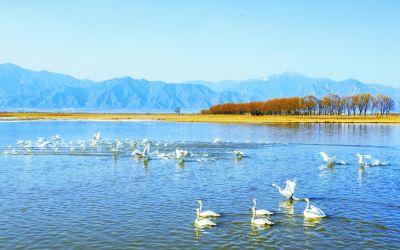 天鹅戏水生态美