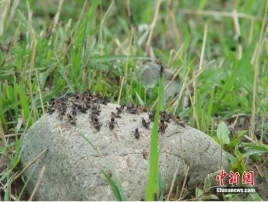 图为西藏飞蝗发生危害状。王文峰 供图