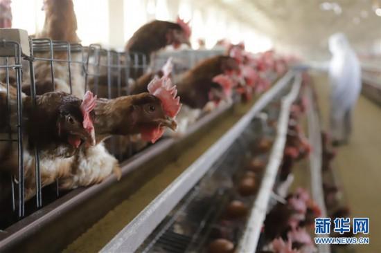#(经济)(1)河北遵化:畜禽养殖保增收