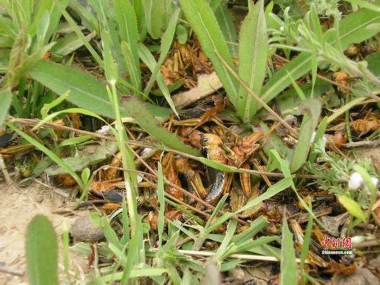 图为防治后的西藏飞蝗。王文峰 供图