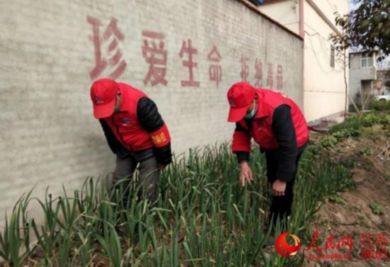圖為青湖鎮志願者在尋找罌粟進行鏟除。青湖鎮供圖