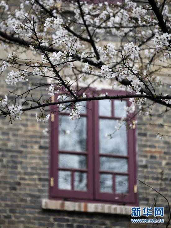 """(聚焦疫情防控)(7)武汉大学开通""""云赏樱""""  向公众展示校园樱花美景"""