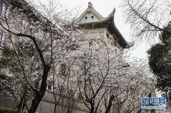 """(聚焦疫情防控)(10)武汉大学开通""""云赏樱""""  向公众展示校园樱花美景"""