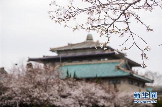 """(聚焦疫情防控)(2)武汉大学开通""""云赏樱""""  向公众展示校园樱花美景"""