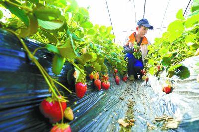 草莓�M入成熟期�S富村民疫情期�g蔬菜水果供��