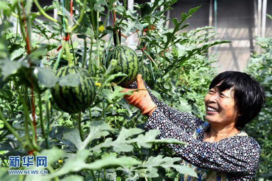 山东寒亭:现代农业产业园的西瓜熟了