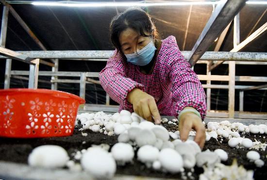 六盘山西麓食用菌菇基地挺过了疫情影响 小菌菇撑开幸福伞
