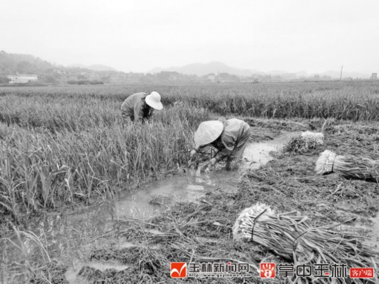 玉州区仁东镇石地村:15万公斤香蒜急寻销路