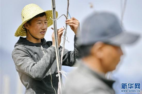 (经济)(1)西藏林芝:示范果园春来早