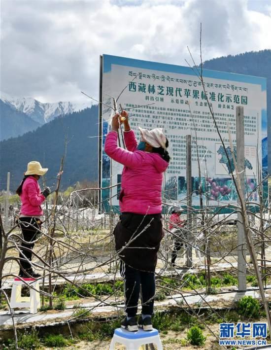 (经济)(5)西藏林芝:示范果园春来早