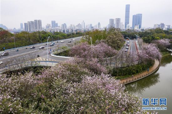 (春季美丽生态)(1)广西柳州:洋紫荆盛开 城市成花海