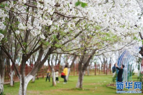 (环境)(1)春日樱花次第开