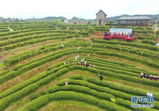 (社会)(4)福州春茶节线上开采