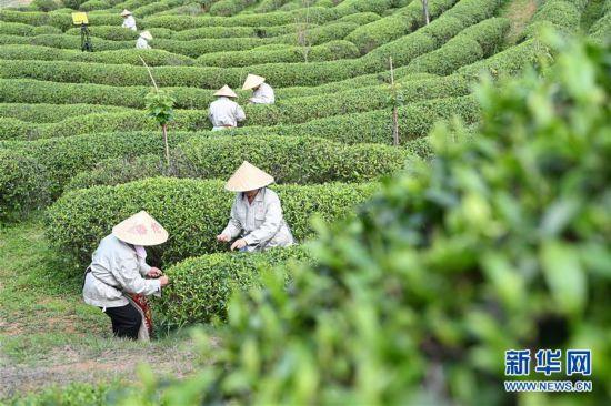 (社会)(3)福州春茶节线上开采