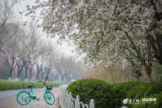 """济南这条路美如画 市民迎着""""花瓣雨""""上班"""