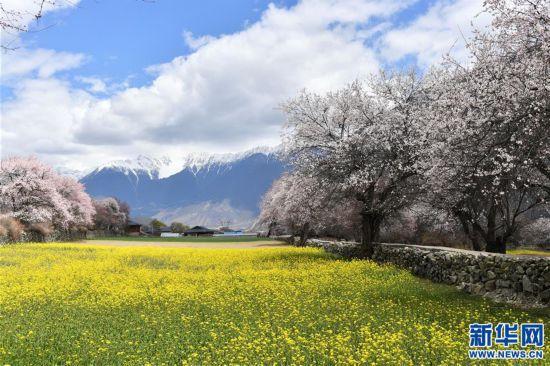 (美丽中国)(1)西藏林芝桃花盛开
