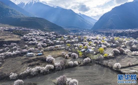 (美丽中国)(9)西藏林芝桃花盛开