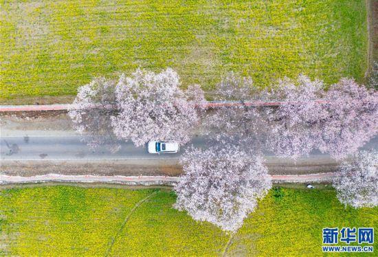 (美丽中国)(2)西藏林芝桃花盛开