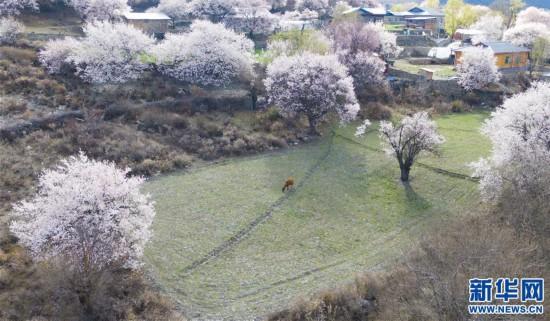 (美丽中国)(7)西藏林芝桃花盛开