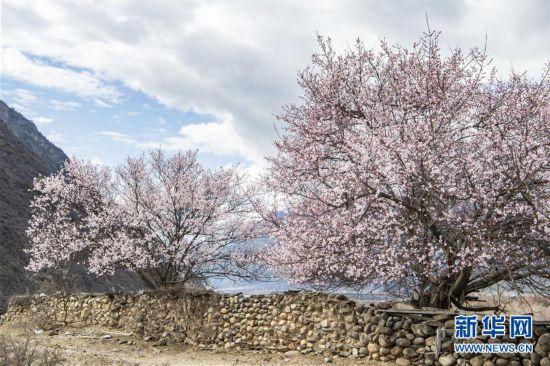(美丽中国)(3)西藏林芝桃花盛开