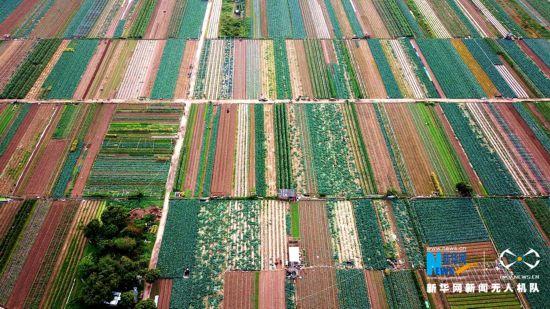 福建泉州:新鲜蔬菜采摘上市