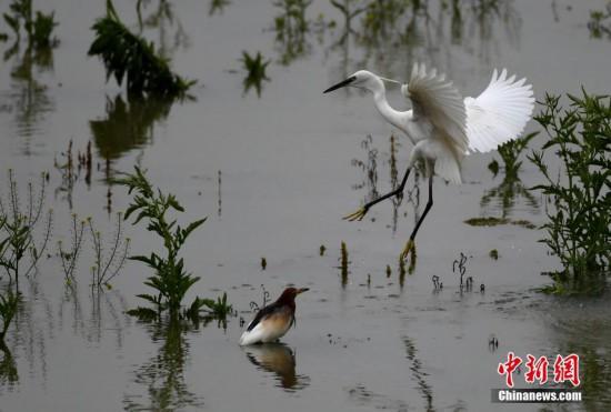 福州森林公园白鹭纷飞