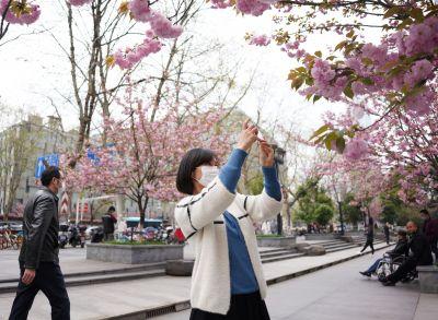 南京街头晚樱逐步进入盛花期 成花卉主角