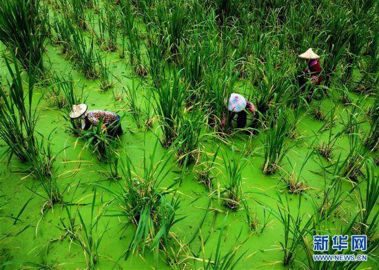 (經濟)(1)福建安溪:穩產保供 助農增收