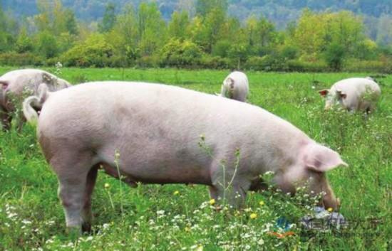 山东:生猪产能逐渐恢复